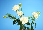 Beautiful white roses on blue background close-up — Stock Photo