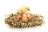 Beau petit poulet et œufs dans le nid, isolés sur le blanc — Photo