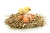 Beautiful little chicken and eggs in nest, isolated on the white — Zdjęcie stockowe