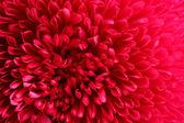Rose fleur aster, gros plan — Photo