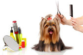 Grooming the yorkshire terrier isolated on white — 图库照片