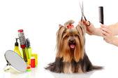 Pflege der yorkshire-terrier, isoliert auf weiss — Stockfoto
