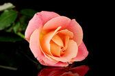 Rosa isolato su nero — Foto Stock