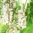 Branch of white acacia flowers on green background — Stock Photo