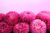 Beautiful aster flowers, on pink background — Stock Photo