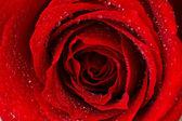 Beautiful red rose close up — Stock Photo