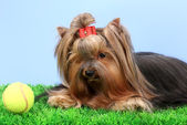 Beautiful yorkshire terrier on grass on colorful background — Stock Photo
