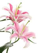 Güzel pembe lily, üzerinde beyaz izole — Stok fotoğraf