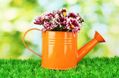 Colorful chrysanthemums in orange watering can on green background — Stock Photo