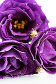 Paarse eustoma op witte achtergrond close-up — Stockfoto
