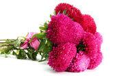 Flores rosa aster, aisladas en blanco — Foto de Stock