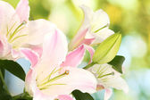Beautiful lily on bright background — Stock Photo