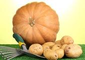 Batatas maduras com abóbora na grama em close-up de fundo verde — Fotografia Stock