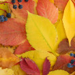 Bright autumn leaves with wild grapes, close up - Stock Photo
