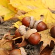 Brown acorns on autumn leaves, close up — Stock Photo #14305945
