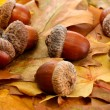 Brown acorns on autumn leaves, close up — Stock Photo #14305963