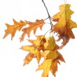 Stock Photo: Twig of oak with autumn yellow leaves, isolated on white