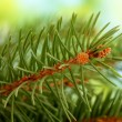 Fir tree branch, on green background — Stock Photo #14306495