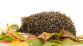 Hedgehog on autumn leaves, isolated on white — Stock fotografie