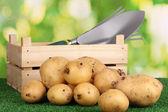 Batatas maduras na grama na base natural — Fotografia Stock