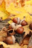 Braune eicheln im herbst blätter, nahaufnahme — Stockfoto