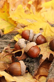 Brown acorns on autumn leaves, close up — Stock fotografie