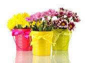 Beautiful bouquet of chrysanthemums in a bright colorful buckets isolated on white — Stock Photo