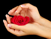 Red rose with woman's hands on black background — Stock Photo