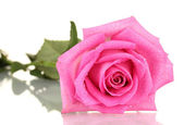 Pink rose with drops isolated on white — Stock Photo