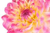Rosa dalia aislado en blanco — Foto de Stock