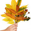 Composition from yellow autumn leaves in hand isolated on white - Stock fotografie