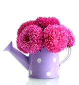 Pink aster flowers in watering can, isolated on white — Stock Photo