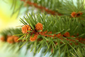 Fir tree branch, on green background — Stock Photo