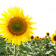Sunflower field — Stock Photo #14341173
