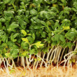 Fresh cress salad closeup — Stock Photo