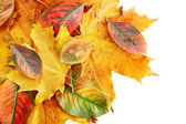 Bright autumn leaves, isolated on white — Stock Photo