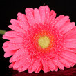 Pink gerbera with drops isolated on black — Stock Photo