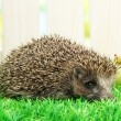 Hedgehog with apples, on grass, on fence background - Stock Photo