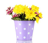 Colorful chrysanthemums in violet bucket with white polka dot isolated on white — Stock Photo
