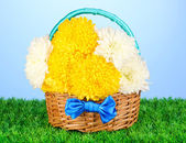 Vackra krysantemum i korg på gräs på blå bakgrund — Stockfoto