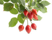 Ripe hip roses on branch with leaves, isolated on white — Stock Photo