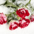 Stock Photo: Beautiful vinous roses in snow close-up