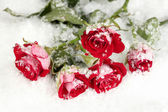 Beautiful vinous roses in the snow close-up — Stock Photo