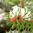 Fir tree branch with snow, close up — Stock Photo