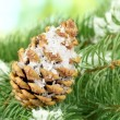 Cone on fir tree with snow, close up - Zdjęcie stockowe