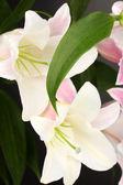 Beautiful lily close-up — Stock Photo