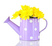 Colorful chrysanthemums in violet watering can with white polka dot isolated on white — Stock Photo