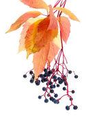 Heldere herfstbladeren met wilde druiven, geïsoleerd op wit — Stockfoto