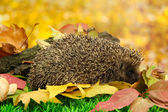 Hedgehog on autumn leaves in forest — Stock Photo