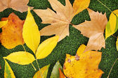 Composition from yellow autumn leaves on grass background — Stock Photo